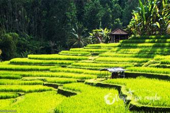 terrazas de arroz bali
