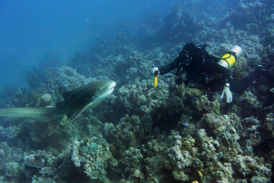 Tiburones en Straits of Tiran